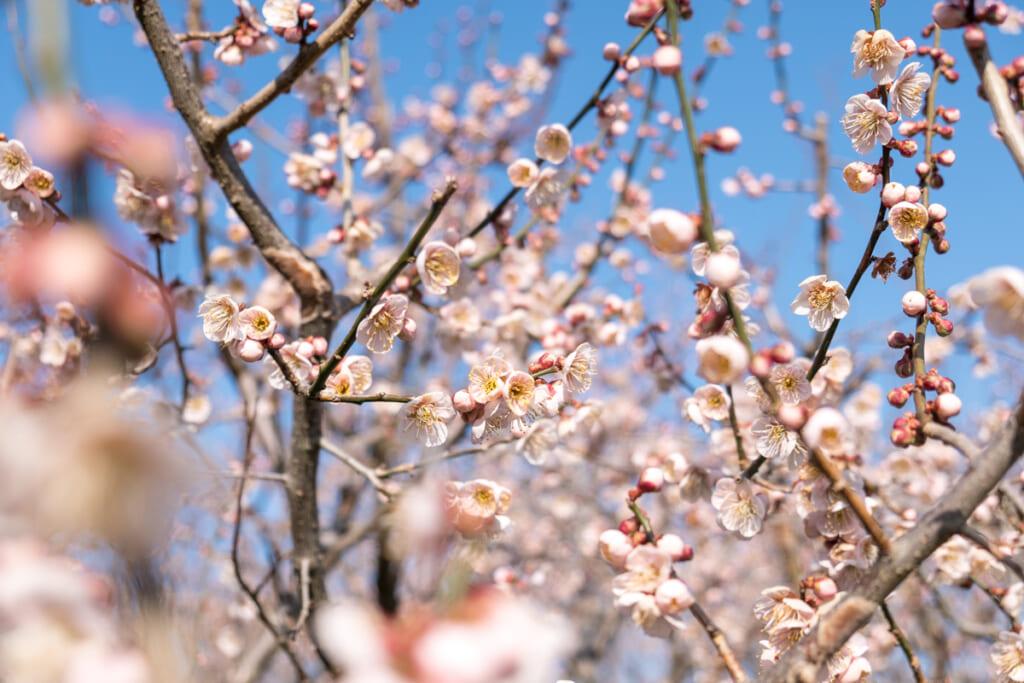 Les abricotiers du Japon ne sont pas en reste avec l'arrivée du printemps