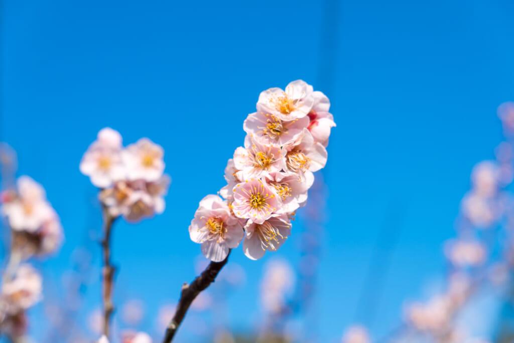 Parviendrez -vous à discerner le cerisier de l'abricotier ?