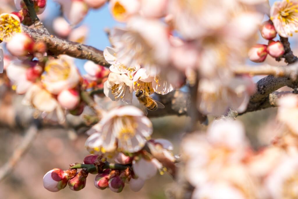 Les fleurs d'abricotiers sont un véritable délice pour les plus petits
