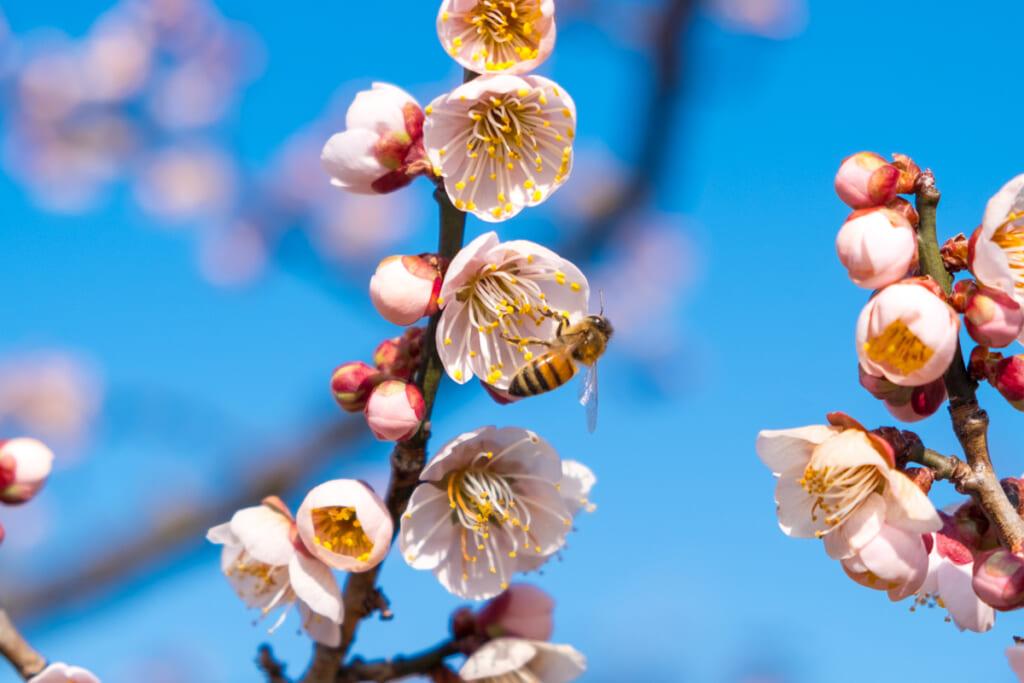Les fleurs d'abricotiers marquent l'arrivée du printemps