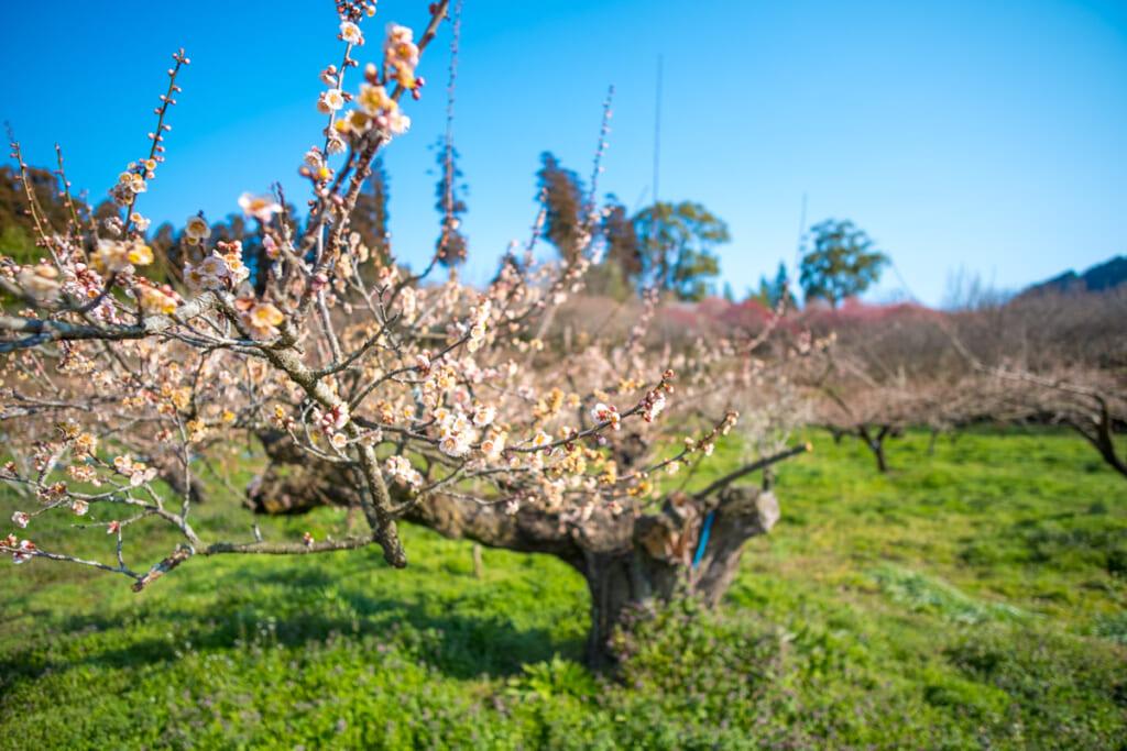 Un soleil radieux, un ciel bleu azur, de délicates fleurs de pruniers...que demander de plus ?