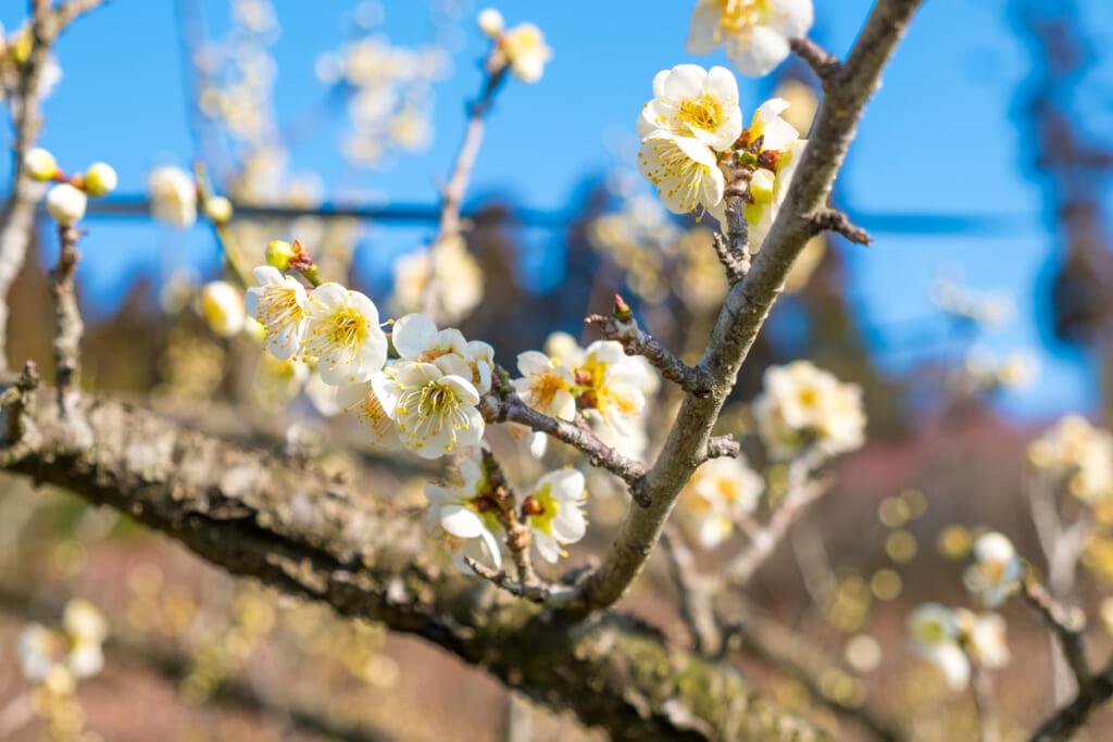 Les fleurs d'abricotiers marquent l'arrivée des beaux jours