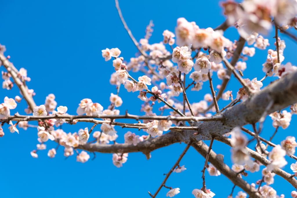 Les abricotiers aussi peuvent faire rêver