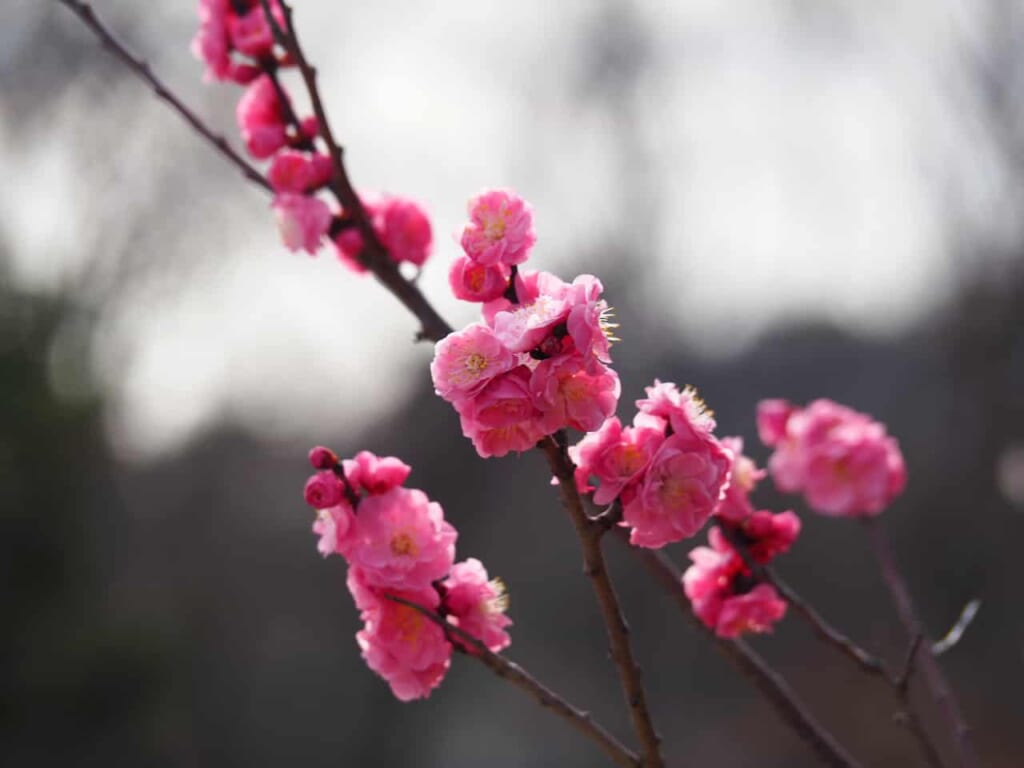 fleurs de pruniers roses à l'observatoire Higashi Misaki