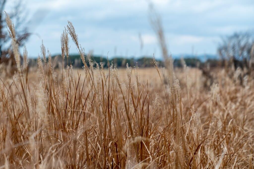 herbes d'automne dans des marais au japon