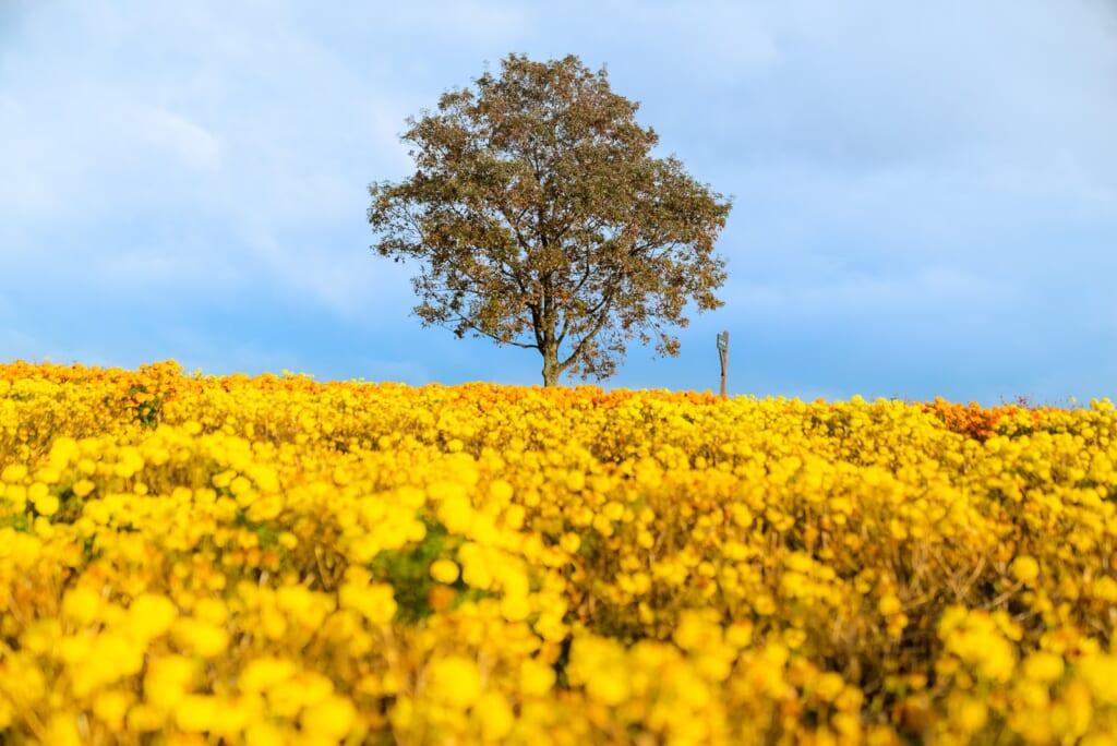 champ de fleur jaunes à Kyushu