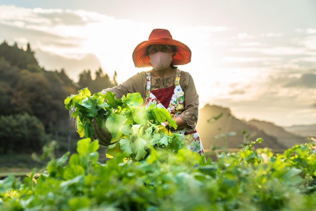 Agricultrice japonaise ramassant ses légumes dans ses champs