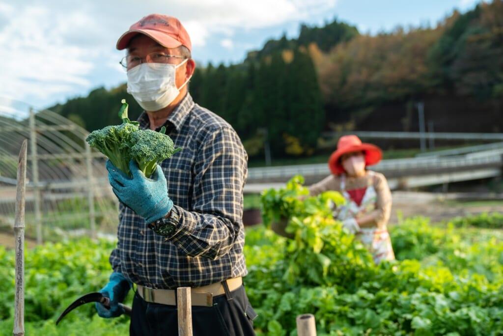 cueillette de légumes dans une ferme japonaise