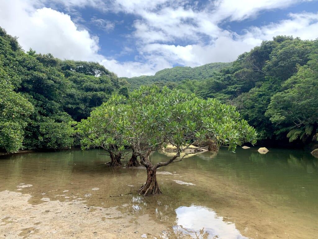 Mangrove à Iriomote, une île de l'archipel d'okinawa