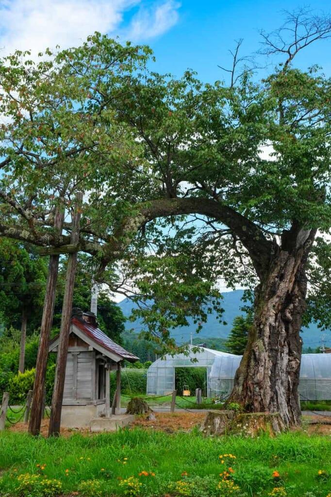 Cerisier centenaire et petit sanctuaire shinto dans la campagne japonaise