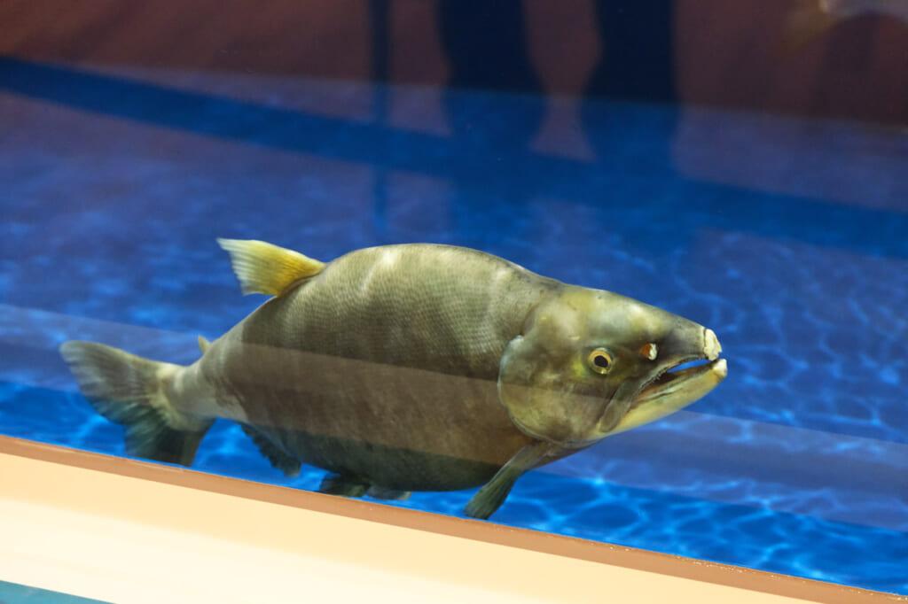 truite kunimasu dans le musée de Tazawako à Semboku