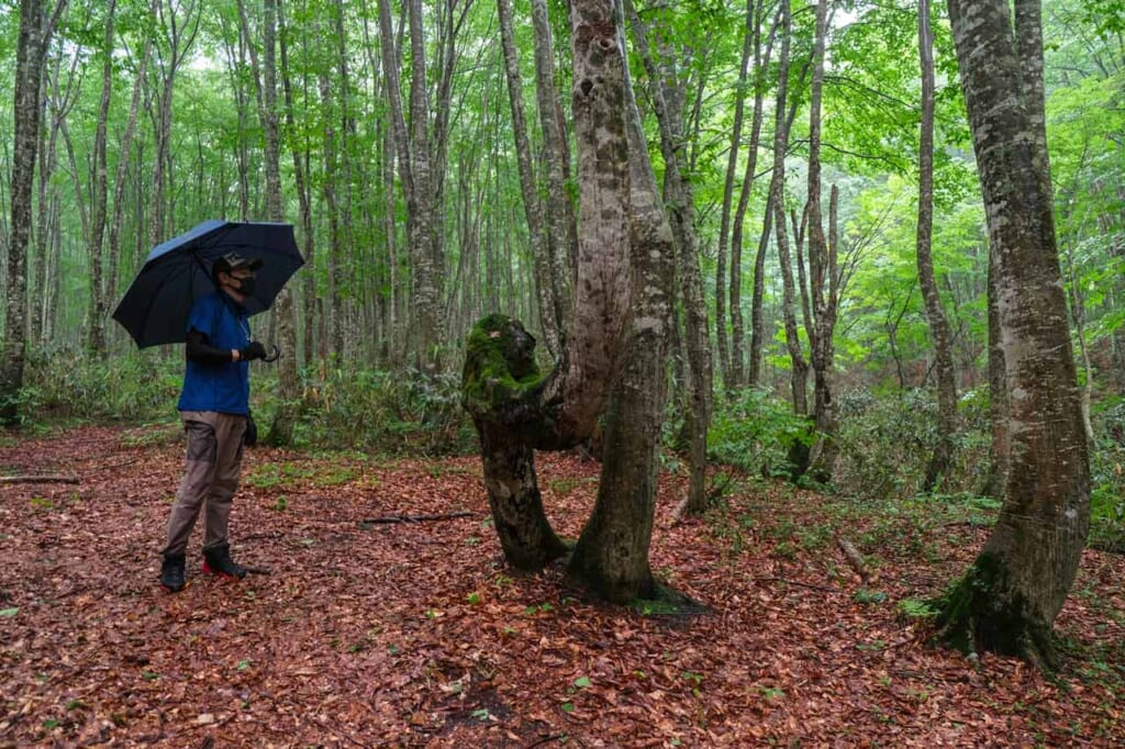 Guide dans une forêt de hêtres au Japon