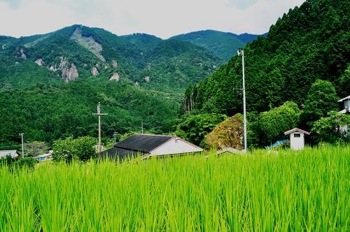 Camposde arroz de Kumano.