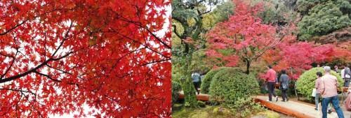 Momijis (hojas otoñales) en el jardín Kunenan Kanzaki (Japón)