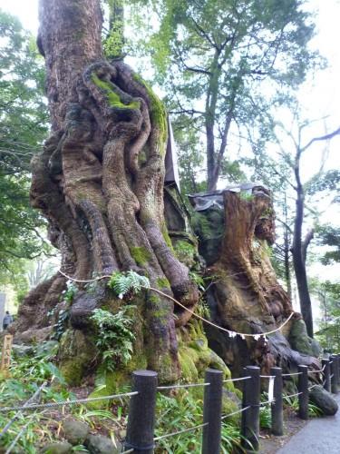 Árbol milenario de alcanfor en Atami, Shizuoka.