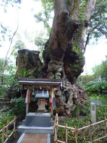 Árbol de alcanfor milenario en Atami, Shizuoka.