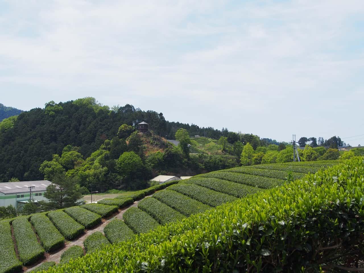 Un paseo por las regiones del té en Wazuka y Uji