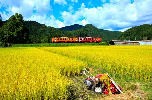 Cosechando arroz en Akita a lo largo de la línea de tren Nairiku.