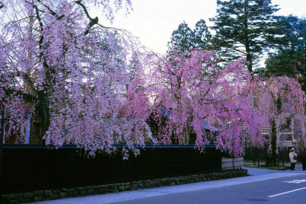 Kakunodate en primavera con las flores del sakura