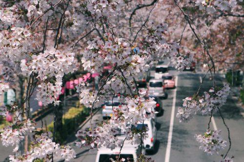Flores en primavera en Nakano Dori, Nakano, Tokio, Japón