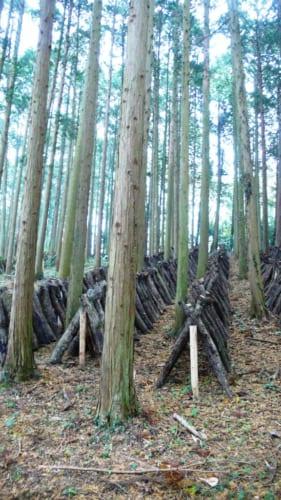 Árboles preparados para las setas en Kitsuki, Nakayamaga, isla de Kyushu, Japón