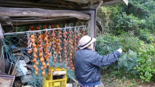 Secando los caquis en Kitsuki, Nakayamaga, isla de Kyushu, Japón