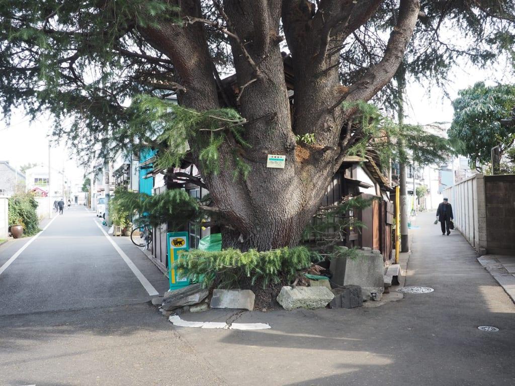 El cedro sobresale en Yanesen