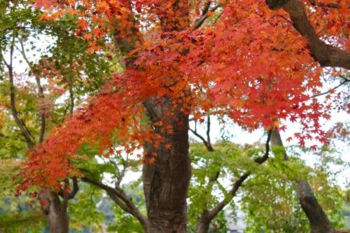 El momiji en Korakuen, Okayama, Isla de Honshu, Japón