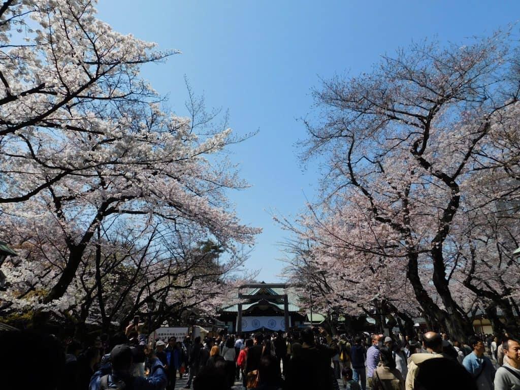 Sakuras en el santuario Yasukuni, Tokio, Japón