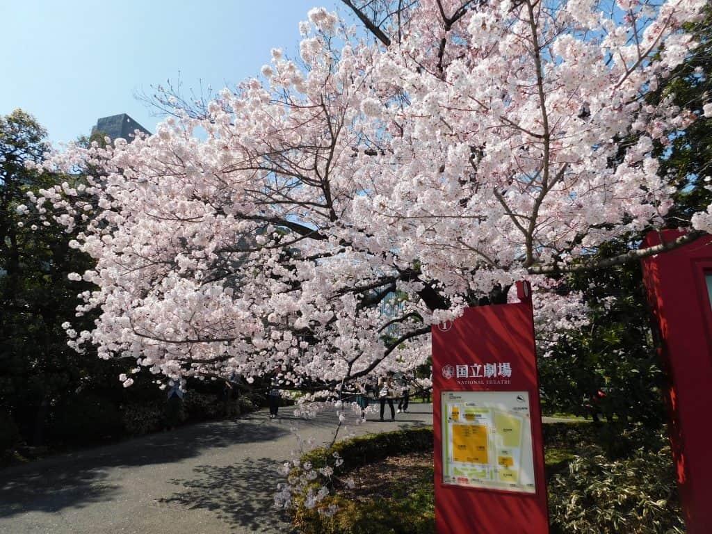 Sakuras en el Palacio Imperial, Tokio, Japón