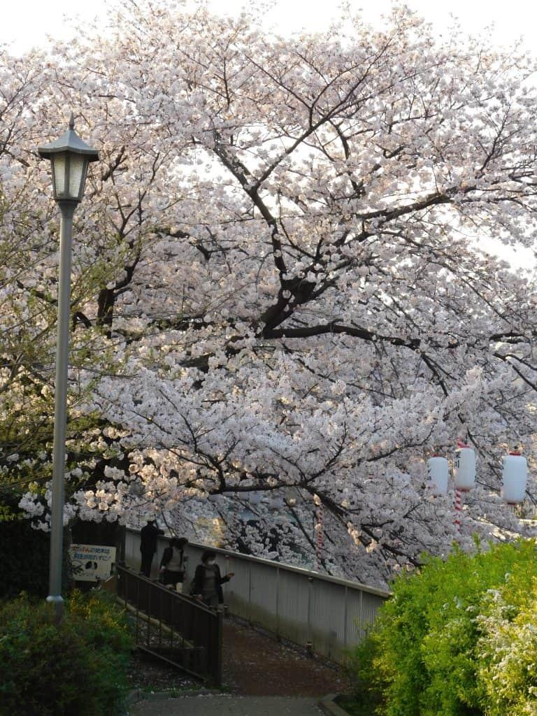 Sakuras en la orilla del río Oyokogawa, Tokio, Japón