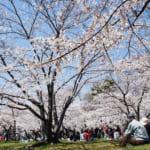 Manual de etiqueta: qué hacer y qué no durante el hanami