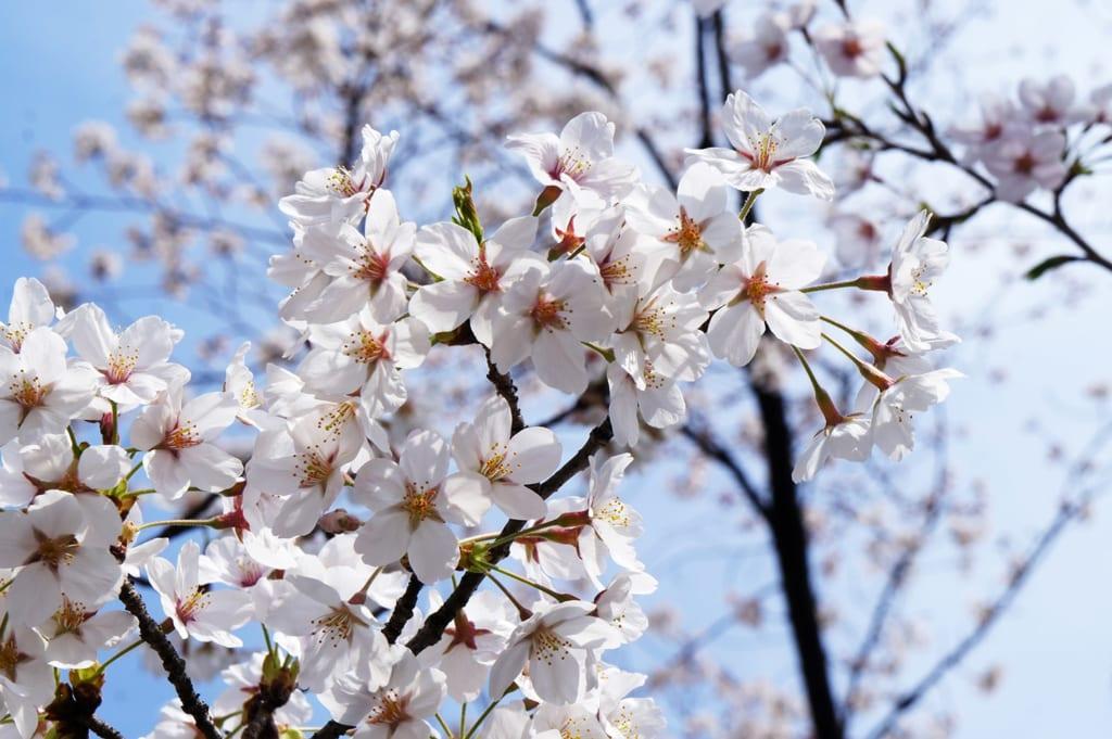 sakura de color blanco en Japón