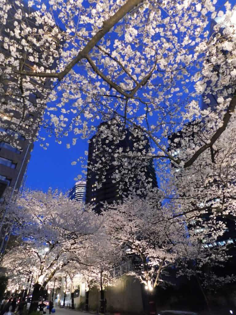Sakuras en Roppongi, Tokio, Japón
