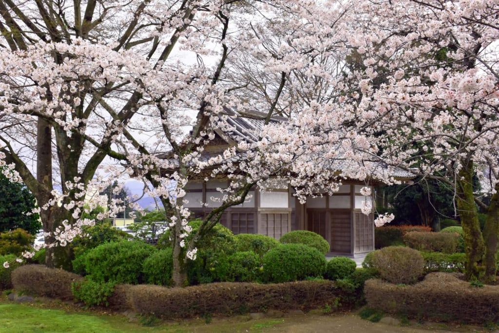 Sakura cerca de Monte Fuji, Japón