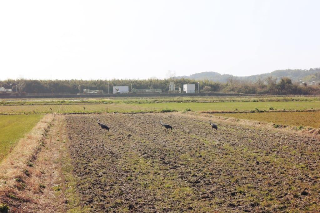 Grullas en Izumi, Kagoshima, Japón