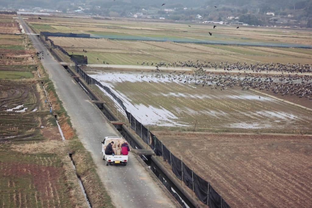 Alimentación de las grullas en Izumi, Kagoshima, Japón