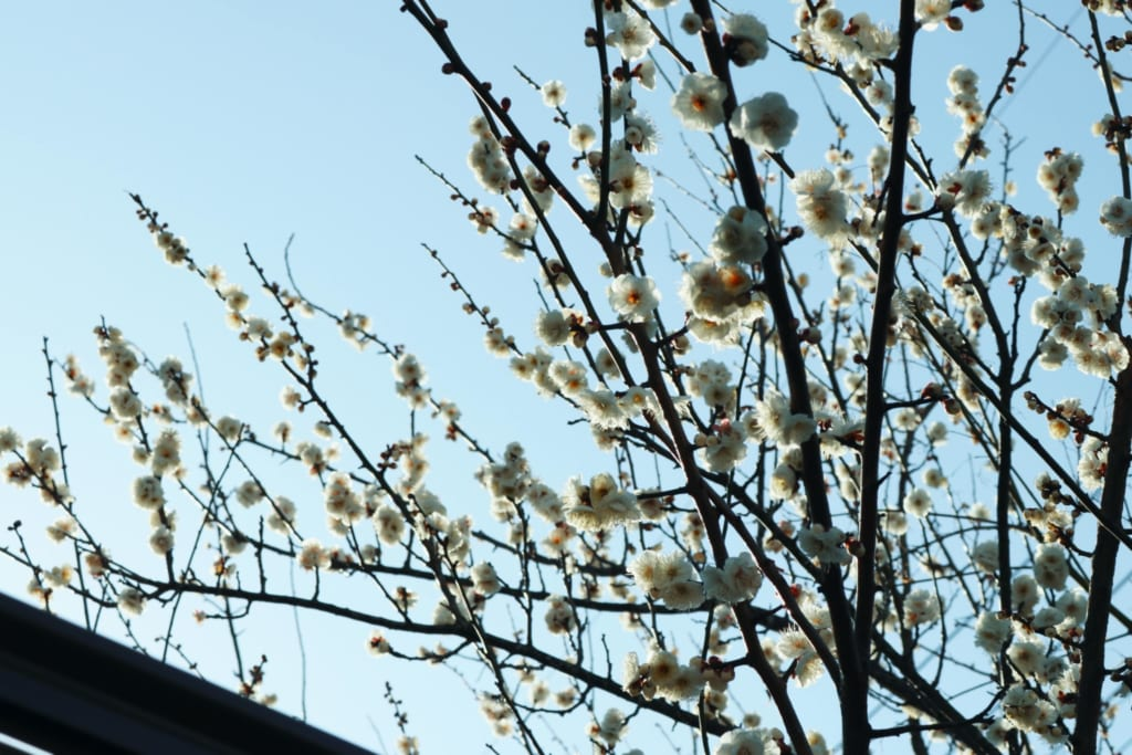 Flor de Ume en Mameda Town, Hita, Oita, Japón