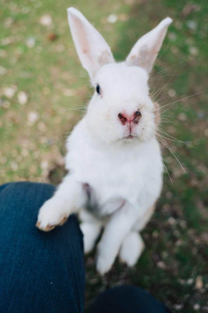 Conejo de Okunoshima