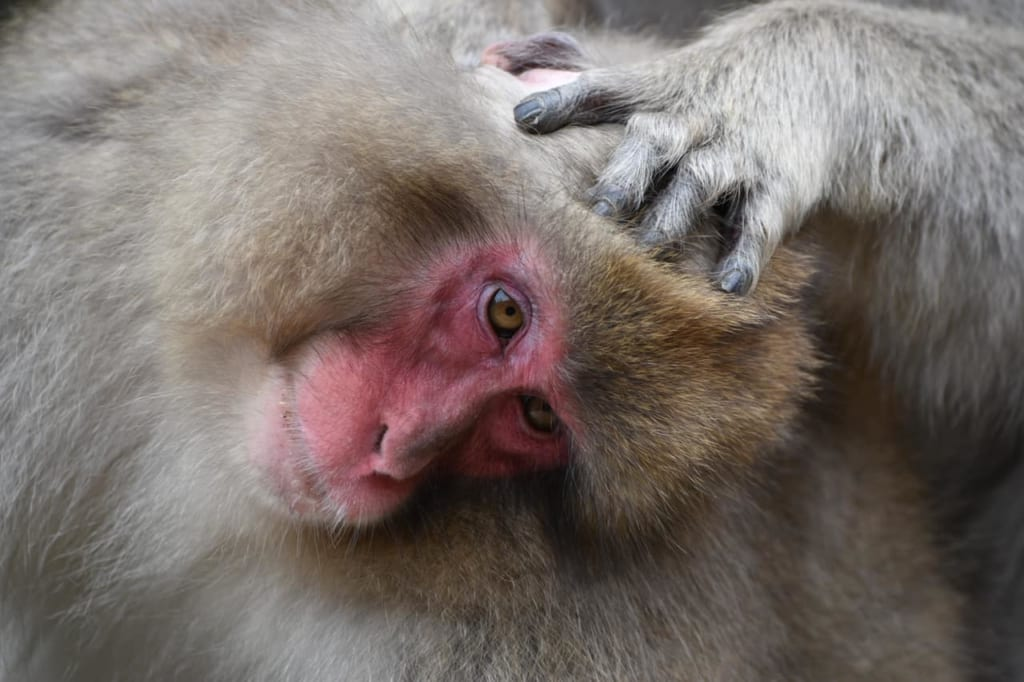Un mono en los baños termales de Jigokudani, Nagano, Japón
