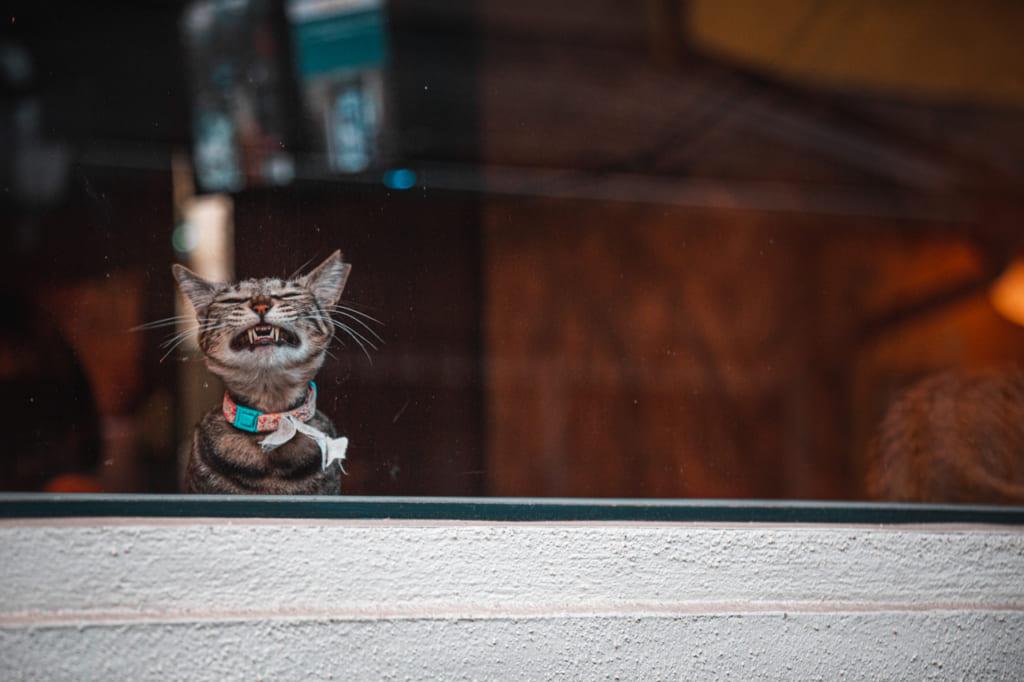 Gato bostezando a través de la ventana Nakazakicho