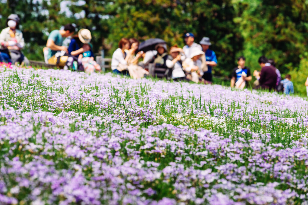 Color púrpura de las rosas del Hitsujiyama Park