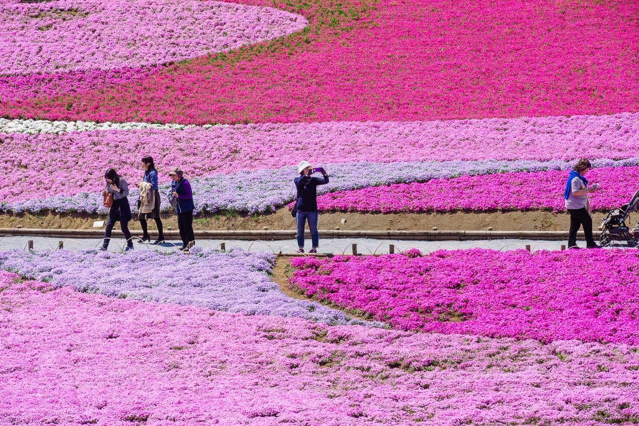Shibazakura Flower: el festival primaveral de la flor en Chichibu, cerca de Tokio
