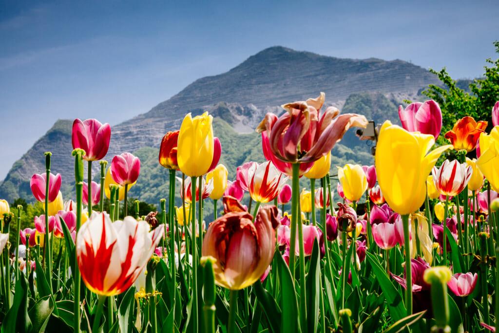Tulipanes en el festival en Chichibu