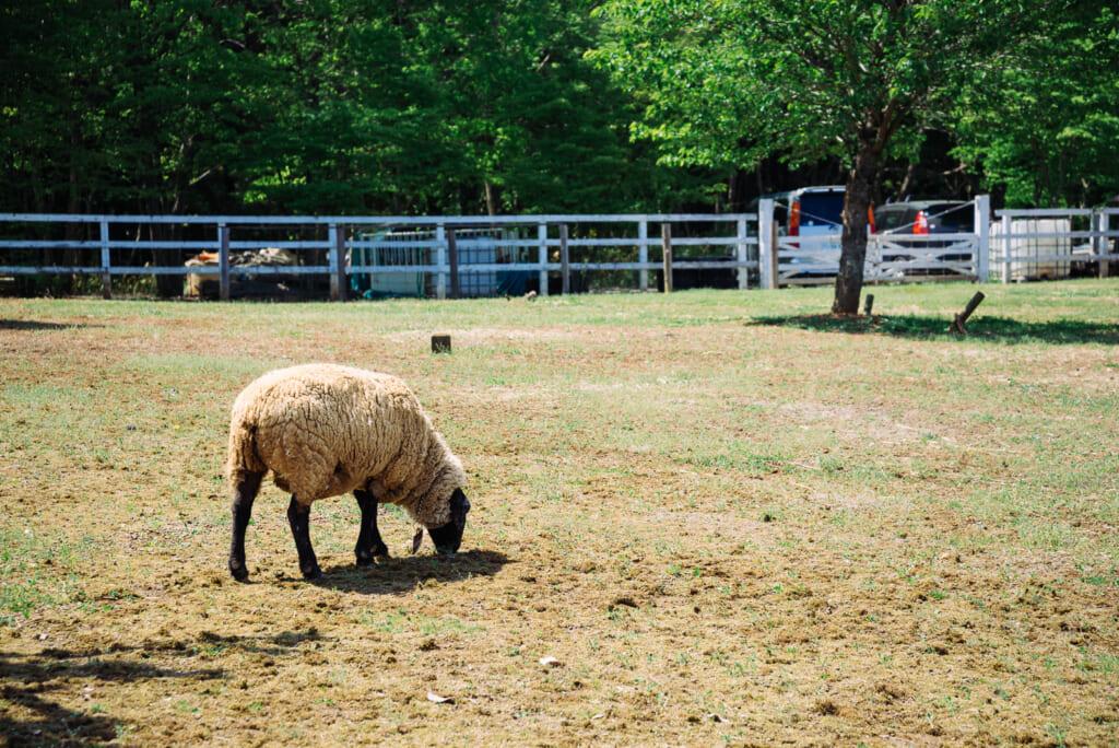 Una amiga oveja en Chichibu
