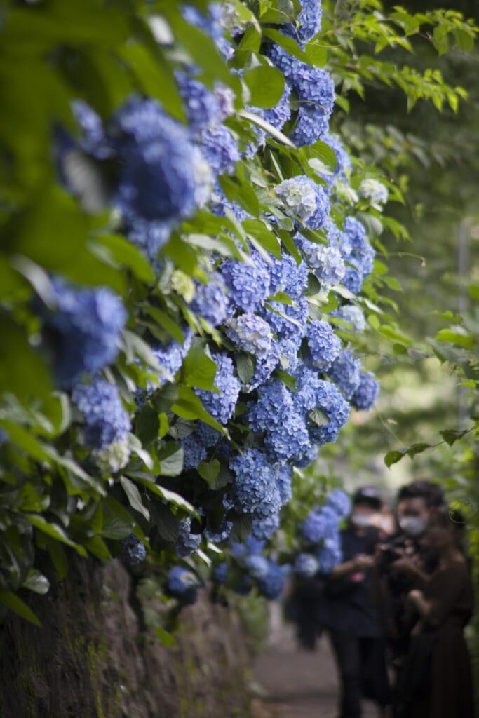 Hortensias en el parque Atsukayama