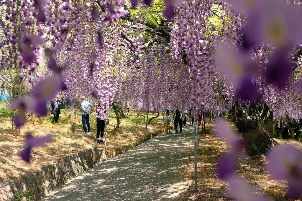 El túnel de glicinias en el Senzei Park en la ciudad de Usa, Oita