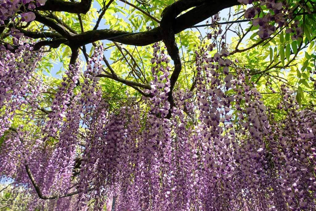 en el túnel de glicinias, violetas.