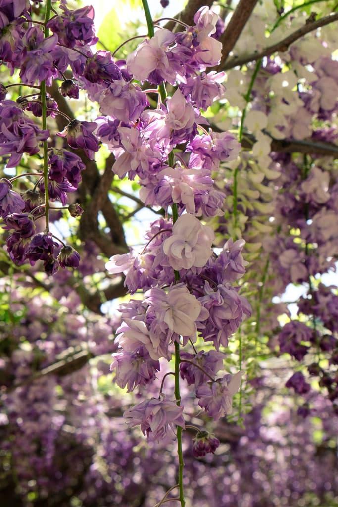 Túnel de glicinias blanco y violeta