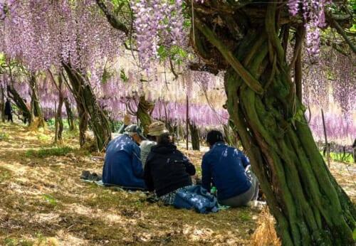 Los visitantes se sientan debajo del túnel de glicinias